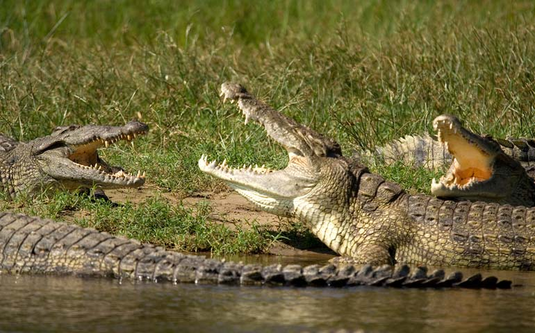 Two crocodiles fighting